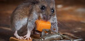 De bedste lokker til rotter og mus: hvad elsker disse gnavere mest?