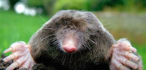 Do moles have eyes and do these animals need eyesight underground?