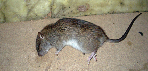 Than to poison rats and mice to quickly get rid of their presence in the house