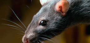 What are rats afraid of and what folk remedies are most effective against them