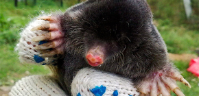 Is the mole really blind and does not see anything?