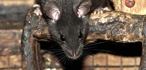 Fekete patkányok: képek és érdekes tények ezen rágcsálók életéről