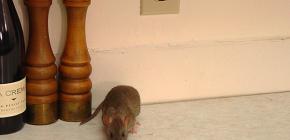Hogyan lehet megbízhatóan megszabadulni patkányoktól és egerektől a saját otthonában?