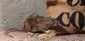 Érdekes tények a szürke patkányokról (pasyuk)
