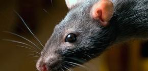 Mitől félnek a patkányok, és milyen népi gyógyszerek a leghatékonyabbak ezekkel szemben