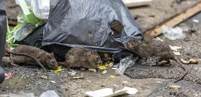 Hatékony patkány- és egérvezérlés