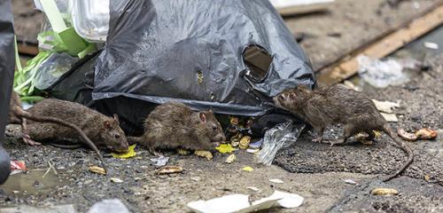 Účinná kontrola potkanov a myší