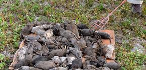 Vilka råttor är farliga för människor och vilka sjukdomar de tolererar
