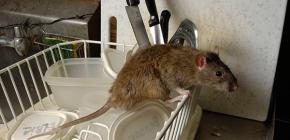 Att välja en effektiv elektronisk råtta- och musrepeller
