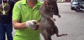 Världens största råttor: foton av enorma representanter