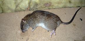 Än för att förgifta råttor och möss för att snabbt bli av med sin närvaro i huset