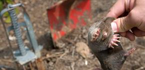 Hur man snabbt fångar en mullvad i en trädgård med enkla medel