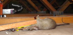 Kemirgen kontrolü için en iyi sıçan tuzağı tipleri