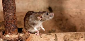 Méthodes de traitement des rats dans une maison privée
