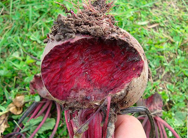 Amikor a vakondjárók közelében a kertészek sérült zöldségeket találnak az ágyakban, akkor a vakond ilyen károsodásáért gyakran vakondokat hibáztatnak.