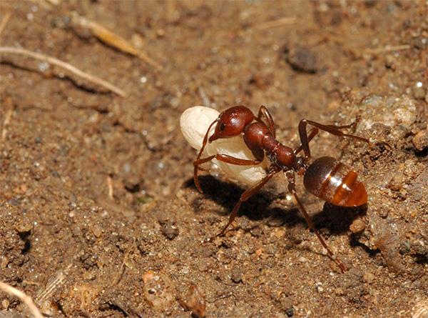 A vakondok nem habozik enni és a hangyákat, amelyek gyakran a föld alatti átjárókba másznak be.