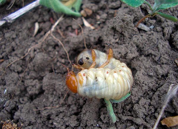 A képen a Maybug lárva látható a földben