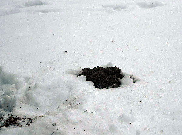 Les taupes continuent leur activité nuisible à la parcelle de jardin en hiver, mais avec moins d'activité.