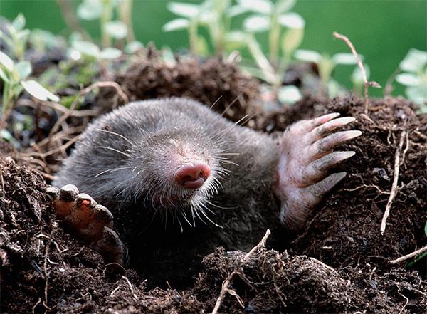 Les taupes dorment dans leurs passages souterrains plusieurs fois par jour, mais pas pour longtemps, car elles ont besoin de manger souvent.