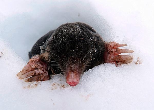 De manière générale, les taupes glissent rarement sous la neige, car il y a moins de nourriture et un risque plus élevé d'être mangé par d'autres prédateurs.