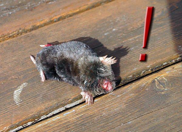 Om du glömmer att ta bort mullvadet från fällan kommer den att dö inom 24 timmar av en smärtsam död (från hunger).