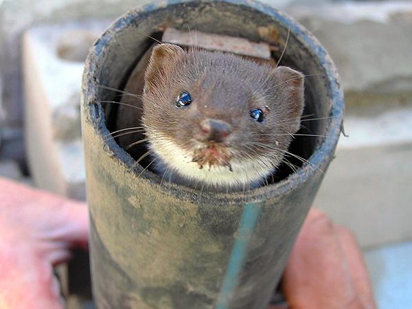 Andra trädgårdsskadedjur kan komma in i mullröret ...