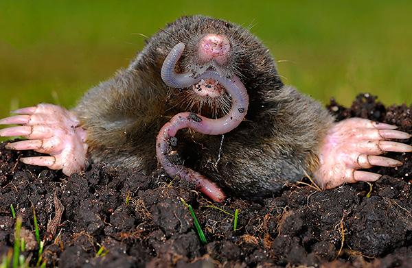 A vakondok fő élelmezése a földigiliszták.