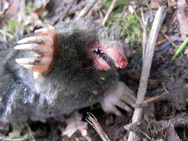 När man hanterar en mullvad ska man tänka på att djuret har ganska vassa tänder och kan bita smärtsamt.