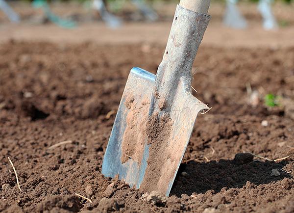 Om du letar efter en mullvad när du flyttar i en underjordisk passage nära ytan, kan djuret lätt grävas upp med en spade.