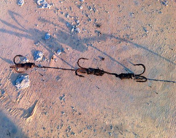 Mullvallen fångad på en sådan krok dras sedan helt enkelt ut ur hålet och dras av fiskelinjen.
