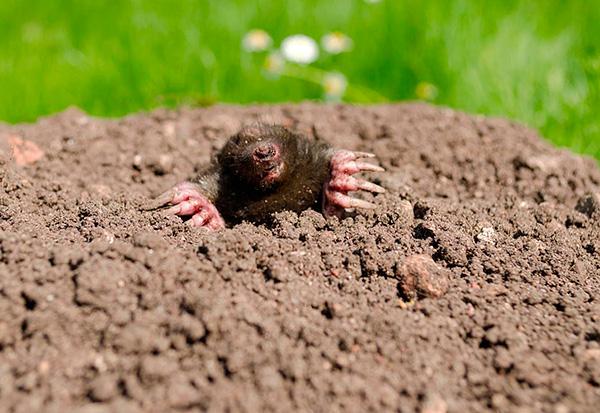 När alla mullvadar i trädgården har fångats är det viktigt att skydda platsen från penetrering av nya skadedjur.