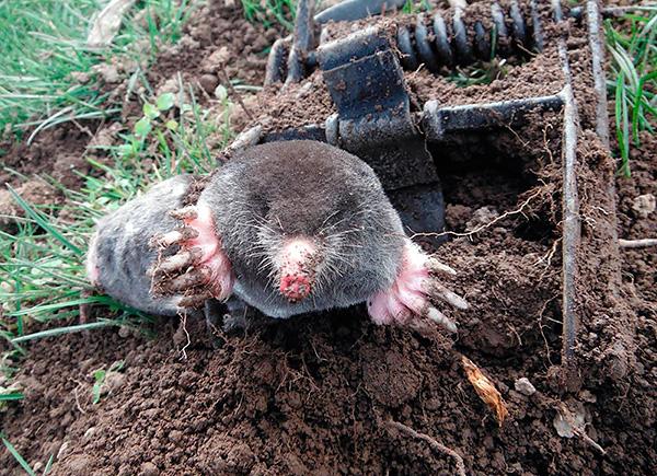 Tyvärr använder trädgårdsmästare i dag fortfarande ofta olika fällor som kramar och dödar djur i kampen mot mol.