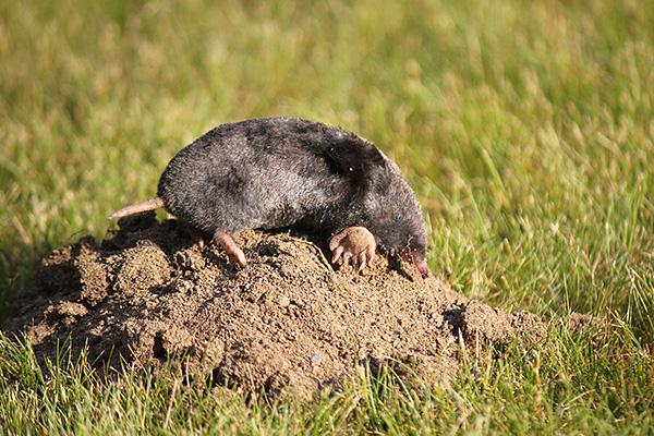 I vissa fall ger medel som avvisar mullvader en uttalad effekt, vilket underlåter under lång tid att skydda stugområdet från skadedjur.