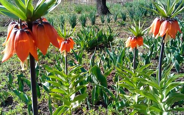 Bár a császári mogyoró nem mindig menti meg az anyajegyeket, a kertben nagyon szépnek tűnik.