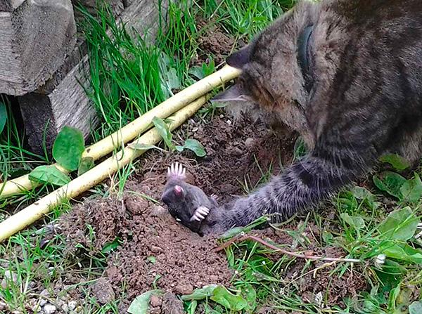 Vissa raser av katter och hundar är mycket aktiva i jaktmullar, men de gräver själva marken mycket.