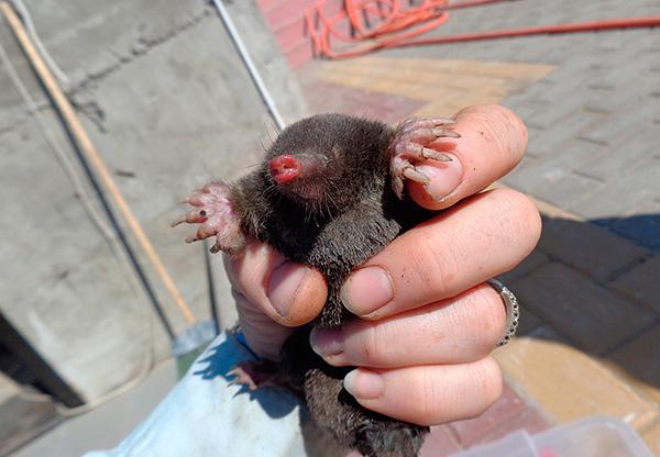 En viktig fördel med levande fällor är förmågan att fånga en mullvad utan att skada den.