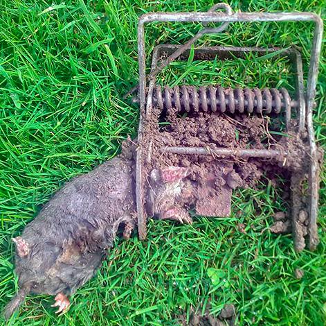 Tyvärr föredrar många trädgårdsmästare att bli av med mullvad med hjälp av olika fällor ...