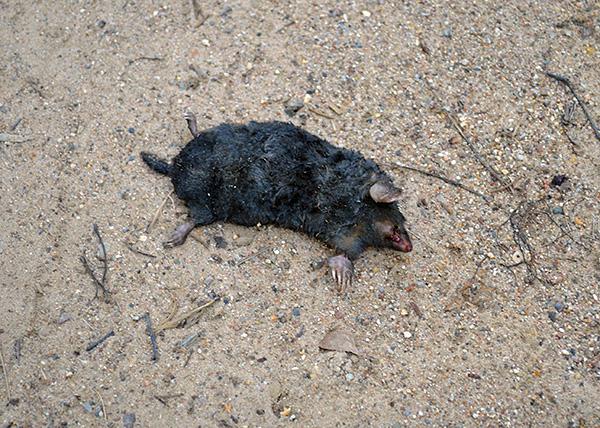 Även om råttgift hjälper till att bli av med mol i trädgården, men användningen av detta verktyg innebär dock risk för förgiftning av husdjur.