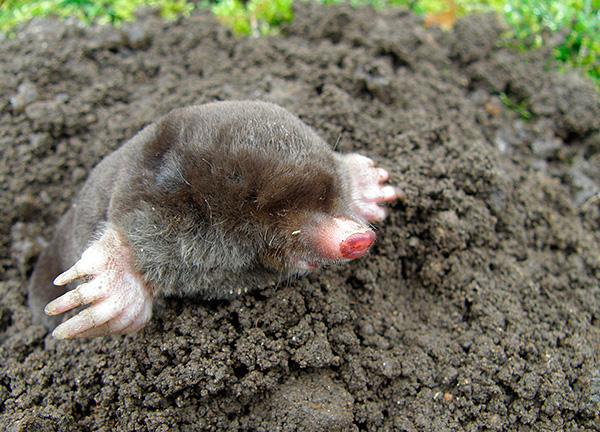 I de flesta fall, innan du använder fällor, är det bra att först försöka skrämma bort skadedjuret från trädgården.