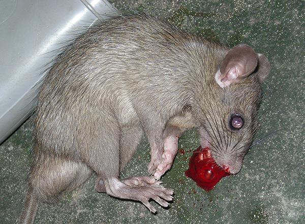 Les rats morts de poison sont également susceptibles de causer des inconvénients, car ils devront faire l'objet d'une fouille et être éliminés pour éviter toute infection ou empoisonnement des animaux domestiques, ainsi que l'apparition d'une odeur désagréable.