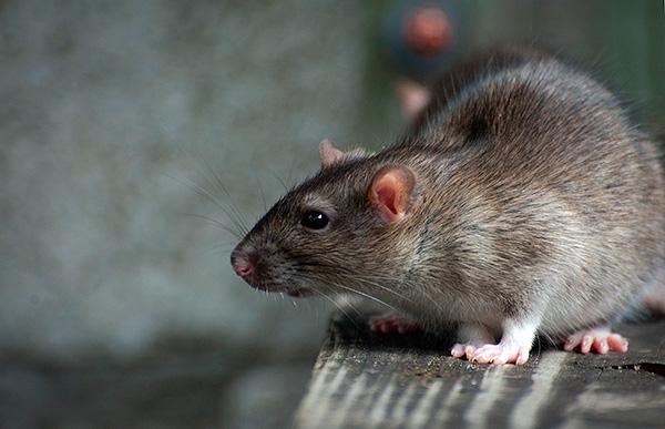 Le poison liquide à base de bière ou de lait a un avantage sur les solides - les rats ne pourront pas le traîner autour du poulailler et son placement dans une boîte de protection le rend extrêmement sûr pour les poulets.