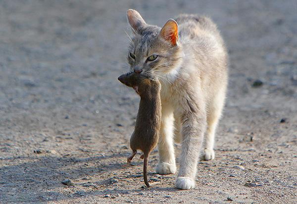 Souvent, un piège à chat vous permet de vous débarrasser des rats à l'intérieur (y compris dans le poulailler) sans aucun effort supplémentaire.