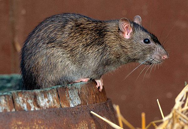 Les remèdes populaires, en règle générale, ne donnent pas de résultats significatifs dans la lutte contre les rats.