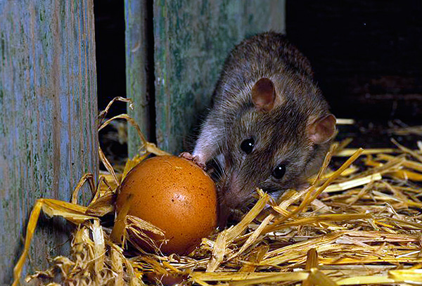Une caractéristique désagréable de la présence de rats dans le poulailler est qu'ils volent des œufs.