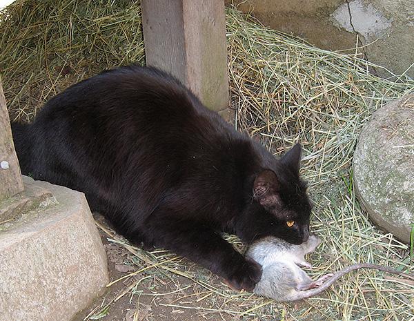 Dans la plupart des cas, un piège à chat vous permet d'oublier le problème de l'invasion de souris et de rats sans aucun effort humain.
