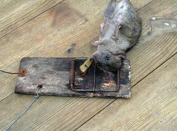 Vous pouvez également tirer parti des pièges à souris éprouvés par le temps (piège à écraser).