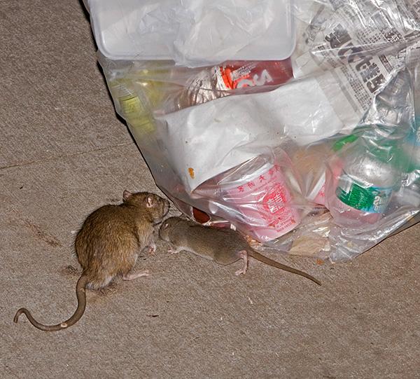 Dans certains cas, un répulsif contre les tornades à ultrasons peut en effet se révéler un moyen inefficace, et les rats ne réagiront en aucune manière.
