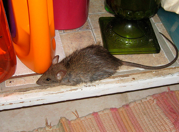 Pour éliminer la dépendance des ultrasons aux rats et aux souris, les fabricants de répulsifs ont accru leur efficacité en introduisant un mode de changement de fréquence automatique.