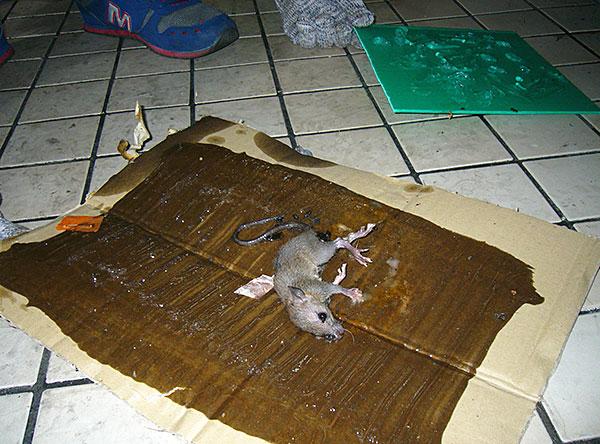 Nous découvrons quels adhésifs existent aujourd'hui pour attraper des rats et des souris et si des pièges collants sont vraiment efficaces pour lutter contre les rongeurs ...