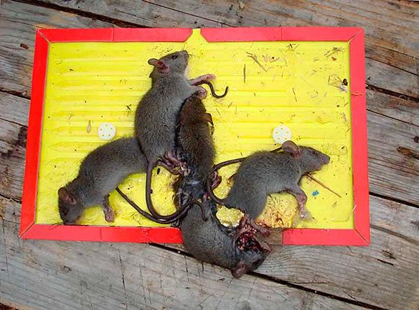 Les souris étant des animaux beaucoup moins prudents que les rats, plusieurs individus tombent souvent dans le même piège à la fois.
